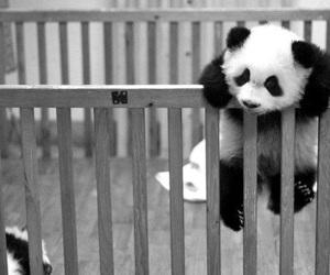 panda, cute, and animal image