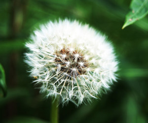 blow, dandelion, and green image