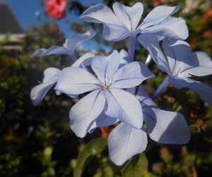 blue flowers, flowers, and hydrangea image