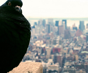 bird, pigeon, and city image