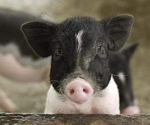 animal and pig image