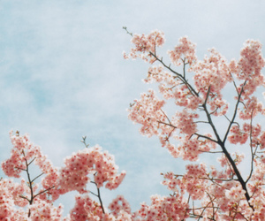 photography, blossom, and cherry blossom image