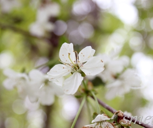 beautiful, cherry, and cherry blossom image