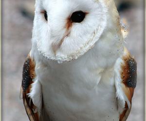 barn owl and owl image