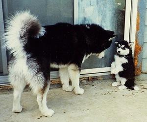 dog, cute, and husky image
