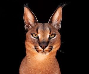 animal, cat, and big cat image