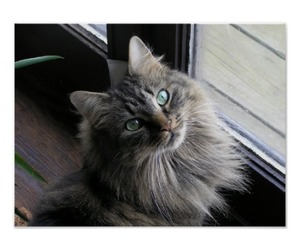 kitty cat, maine coon, and pretty cat image