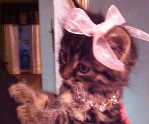 adorable, bow, and cat image