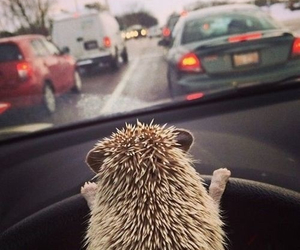 hedgehog, animal, and car image