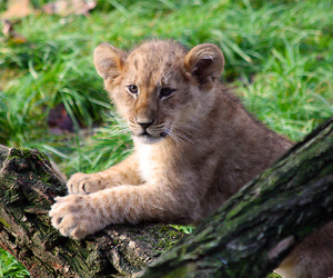 baby, lion, and nature image