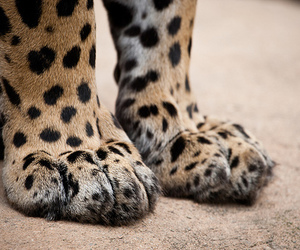 paws, animal, and leopard image