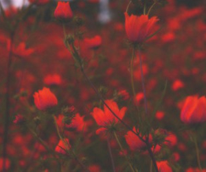 beautiful, scarlet red, and flowers image