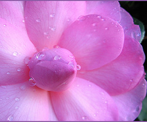 art, camellia, and bloom image
