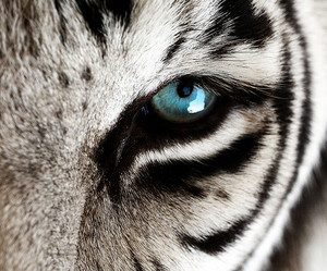 tiger, animal, and blue image