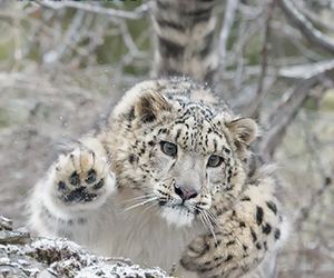 big cats, cute animals, and snow leopard image