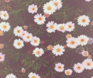 flowers, daisy, and header image