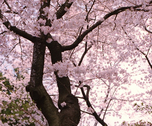 pink, cherry blossom, and tree image