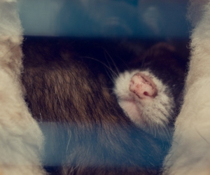 ferret, nose, and pet image