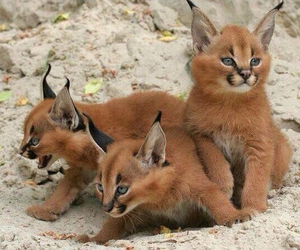 adorable, kittens, and animal image