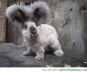bunny, rabbit, and angora image