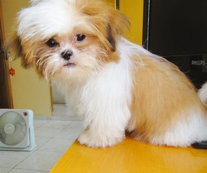 dog and shih tzu image