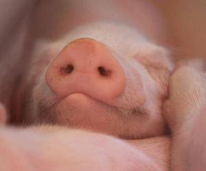 animal, love, and pig image