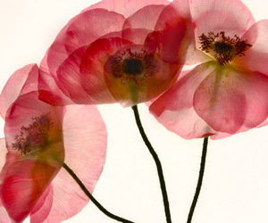 flowers, pressed flowers, and pink image