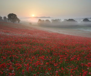 poppy and red image