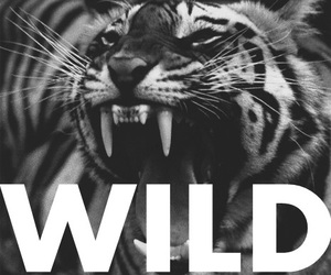 wild, tiger, and black and white image