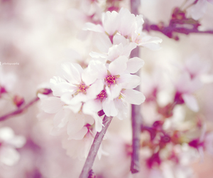 cherry blossoms, dreamy, and flowers image