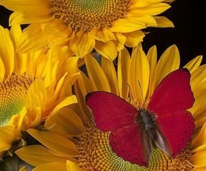 sunflower, butterfly, and flowers image