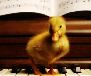 duck, piano, and animal image