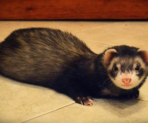 adorable, animal, and ferret image