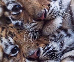 adorable, animals, and tiger image