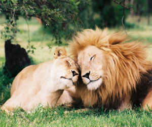 lion, love, and animal image