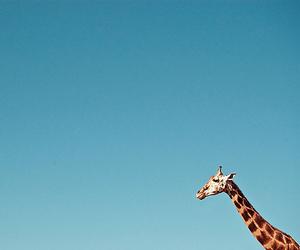 blue, giraffe, and animal image