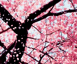 cherry blossom, flowers, and photography image