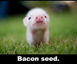cute, bacon, and pig image