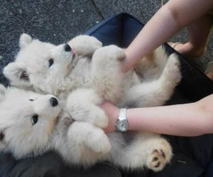 adorable, fluffy, and puppies image