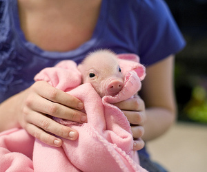 adorable, pig, and pork image