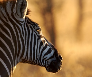 animal, zebra, and phtography image