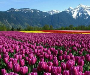 flowers, tulips, and mountains image