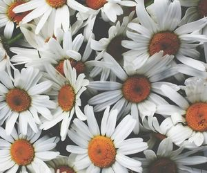 daisy, flowers, and nice image
