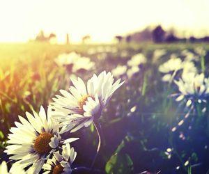 daisy, daisys, and Dream image