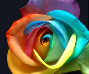flowers, rose, and color image