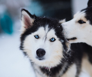 animal, husky, and cute image