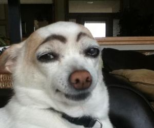dog, funny, and eyebrows image