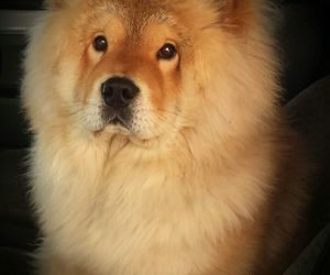 adorable, animals, and chow chow image