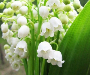 flowers, lily of the valley, and spring image
