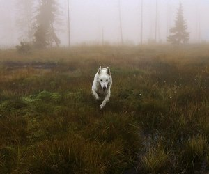 animal, wolf, and white image